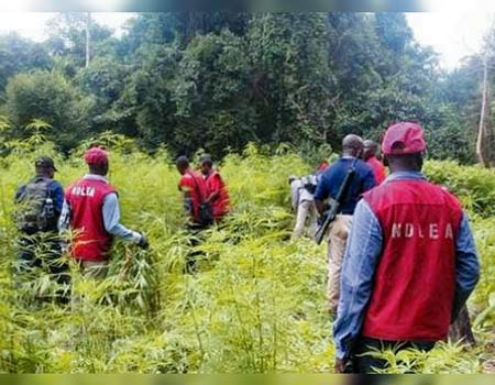NDLEA uncovers, destroys 2 hectares of cannabis farms in Edo