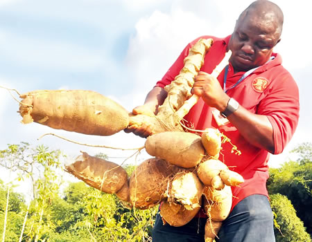 FG raises the alarm over new  cassava disease