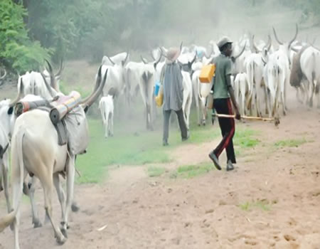 Don't move your cattle along South-East, Ohanaeze Ndigbo Youths warn Miyetti Allah